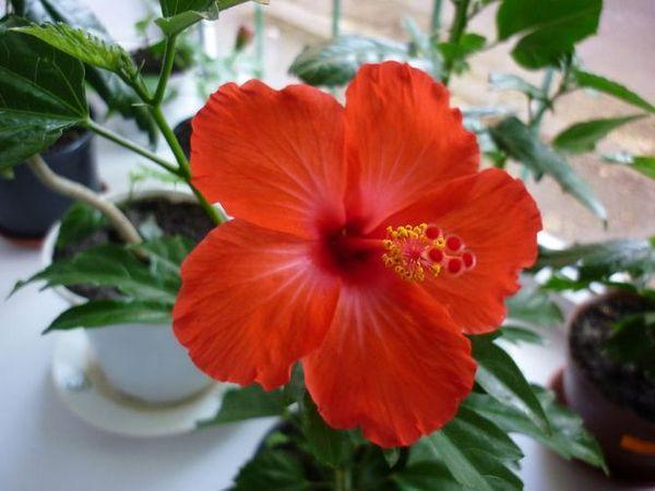 Гибискус: описание цветка
