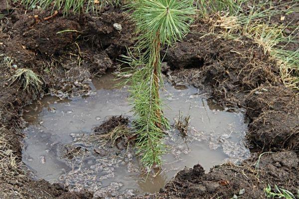 Как пересадить сосну из леса на участок