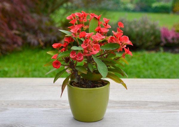 Эуфорбия: фото и описание цветка