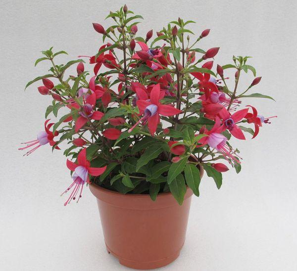 Фуксия: фото цветка