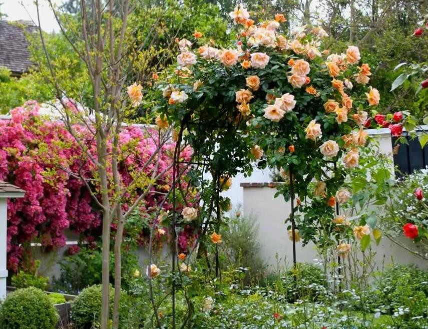 Как использовать плетистые розы в дизайне сада