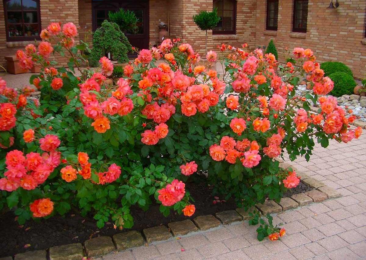 Неприхотливые розы