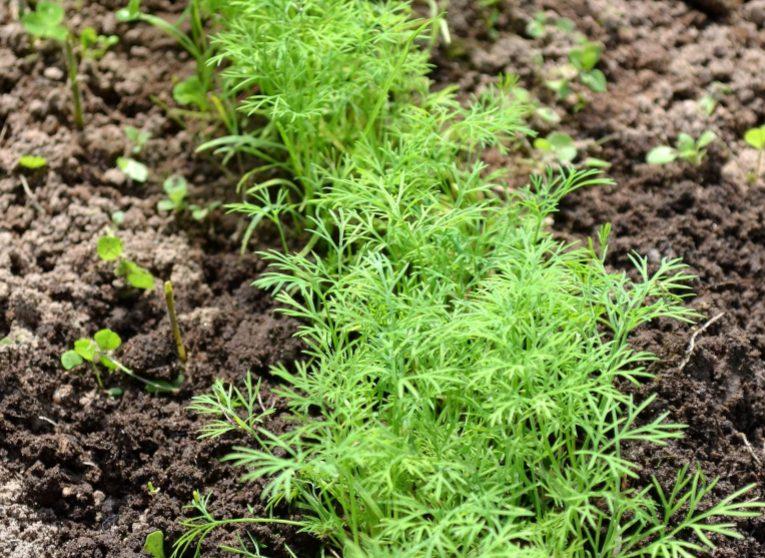 Как посадить укроп, чтобы быстро взошел в открытом грунте
